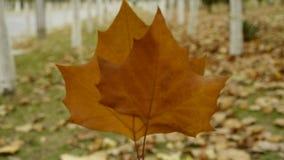 Dwa liścia w drewnach, trząść w wiatrze jako tło, las zbiory wideo