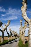 Dwa linii ostrzyżeni platanus drzewa graniczy drogę Zdjęcie Royalty Free