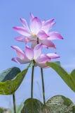 Dwa lotosowego kwiatu dobierać do pary połysk w niebie Fotografia Stock