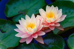 Dwa lotosu Fotografia Royalty Free