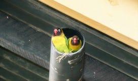 Dwa Lovebirds Agapornis Dziki Kołnierzasty personatus przy gniazdeczkiem w drymbie Obrazy Royalty Free