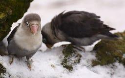 Dwa lovebirds siedzi na śniegu (genus Agapornis) Fotografia Royalty Free