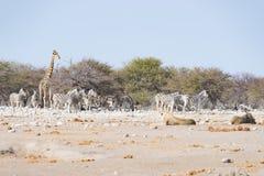 Dwa lwa łgarskiego puszka na ziemi Zebry i żyrafy defocused chodzący niezakłócony w tle Przyroda safari w Et Zdjęcia Stock