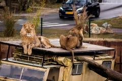 Dwa lwa na samochodowym wraku Obrazy Royalty Free