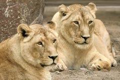 Dwa lwa, oba w ostrej ostrości Fotografia Stock