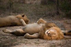 Dwa lwa odpoczywa, jeden wystawia jego brzucha Zdjęcia Royalty Free