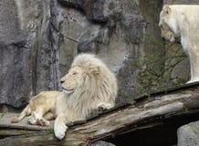Dwa lwa w zdjęcie royalty free