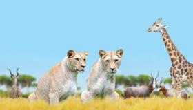 Dwa lwica na sawannie obraz stock