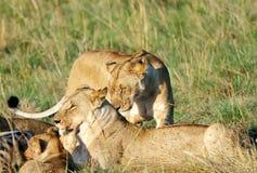 Dwa lwica z lisiątkiem Zdjęcia Stock