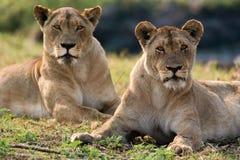 Dwa lwicy kłamają na wzgórzu Okavango Delta Zdjęcia Royalty Free