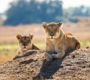 Dwa lwicy kłamają na wzgórzu Okavango Delta Obrazy Royalty Free