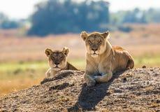 Dwa lwicy kłamają na wzgórzu Okavango Delta Obraz Stock