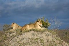Dwa lwicy kłama na trawiastym termitu kopu Fotografia Royalty Free