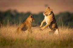 Dwa lwicy na tylnych nóg sztuki boju obrazy stock
