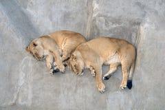 Dwa lwicy odpoczywa na szarości skale Fotografia Stock