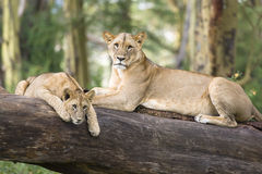 dwa lwy Fotografia Royalty Free