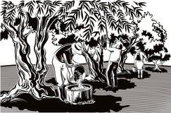 Dwa mężczyzna i kobieta zbierają oliwki bezpośrednio od drzewa royalty ilustracja