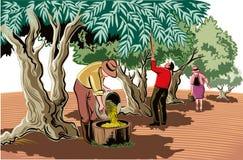 Dwa mężczyzna i kobieta zbierają oliwki bezpośrednio od drzewa ilustracji