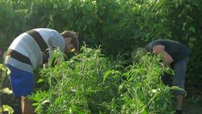 Dwa mężczyzna opieka i czysty krzaka pomidor Sprawdza ilość rośliny zbiory