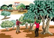 Dwa mężczyzna zbierają oliwki bezpośrednio od drzewa ilustracja wektor