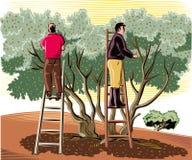 Dwa mężczyzna zbierają oliwki bezpośrednio od drzewa ilustracji