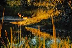 Dwa Impalas przy waterhole Zdjęcia Stock