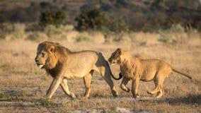 Dwa Męskiego lwa biega, Savuti, Botswana fotografia royalty free