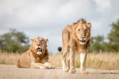 Dwa męskiego lwa gapi się przy kamerą Zdjęcia Stock