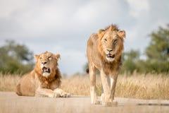 Dwa męskiego lwa gapi się przy kamerą Zdjęcia Royalty Free
