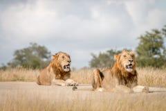 Dwa męskiego lwa kłaść na drodze Fotografia Stock