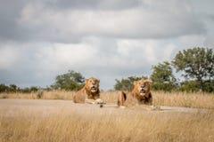 Dwa męskiego lwa kłaść na drodze Obrazy Stock