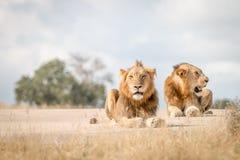 Dwa męskiego lwa kłaść na drodze Zdjęcia Royalty Free