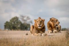 Dwa męskiego lwa kłaść na drodze Zdjęcie Stock