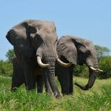 Męscy słonie, Botwsana Zdjęcie Stock