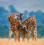 Dwa męskiej żyrafy walczy each inny w sawannie Kenja Tanzania 5 2009 Africa tana wschodnich maasai marszu spełniania Tanzania wio Obrazy Royalty Free