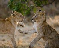 Dwa młodego lwa bawić się z each inny Park Narodowy Kenja Tanzania Maasai Mara kmieć fotografia stock