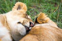 Dwa młodego lwa cuddle i bawić się z each inny fotografia royalty free