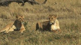 Dwa młodego lwa siedzą wpólnie w masai Mara parku narodowym zdjęcie wideo