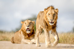 Dwa młodego męskiego lwa brata w Kruger Obraz Stock