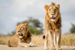 Dwa młodego męskiego lwa brata w Kruger Obrazy Stock