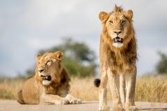 Dwa młodego męskiego lwa brata w Kruger Zdjęcie Royalty Free