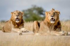 Dwa młodego męskiego lwa brata w Kruger Fotografia Royalty Free
