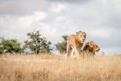 Dwa młodego męskiego lwa na drodze Obraz Royalty Free