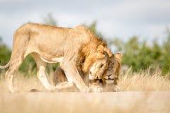 Dwa młodego męskiego lwa spaja w Kruger Fotografia Royalty Free