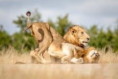 Dwa młodego męskiego lwa spaja w Kruger Zdjęcie Stock