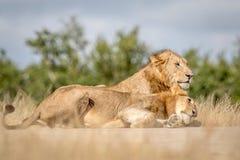 Dwa młodego męskiego lwa spaja w Kruger Zdjęcia Royalty Free
