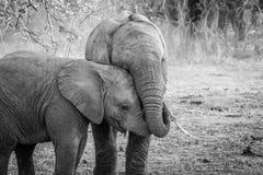 Dwa młodego słonia cuddling w czarny i biały Obraz Royalty Free