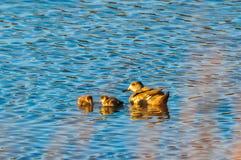 Dwa młodej kaczki z matką w stawie obrazy royalty free