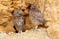 Dwa młodej małej sowy ogląda ja z żółtymi oczami obrazy stock
