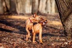 Dwa młody Irlandzki Terrier bawić się z each inny Zdjęcie Stock